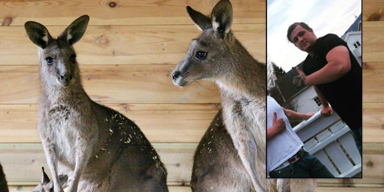 Kjørte 75 mil for å se Karmøy-kenguruen – Karmøynytt