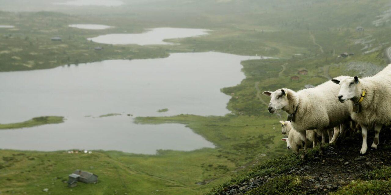 Beitedyra sikrer utsikt på Norgesferien